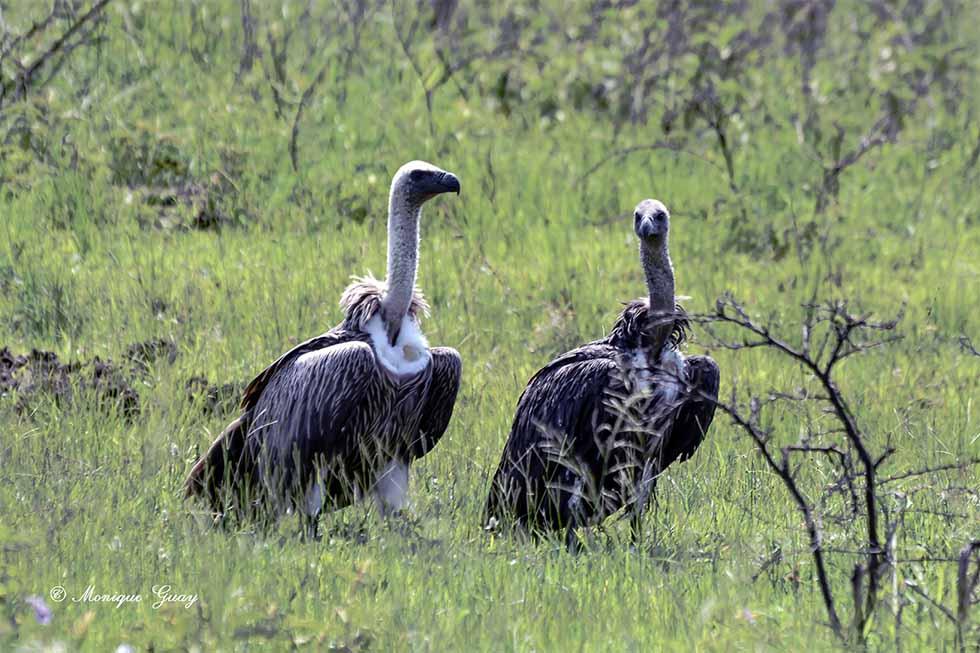 Couple de vautours africains