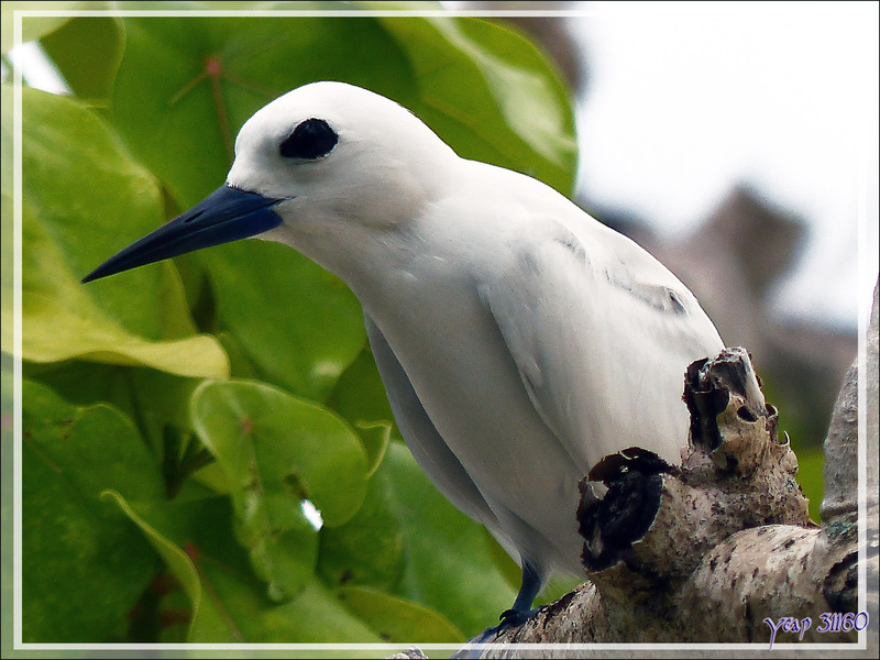 Gygis blanche ou Sterne blanche, White Tern (Gygis alba) - Huahine - Polynésie française
