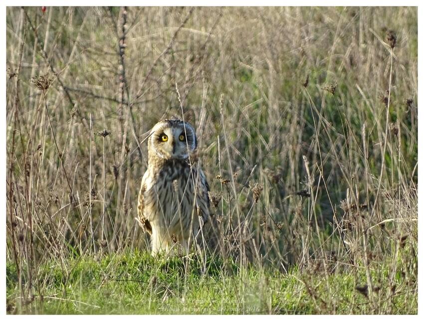 Hibou des marais - 2016