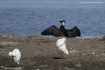 Grand cormoran et Aigrette garzette