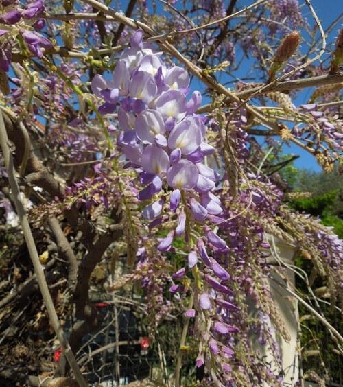 Les glycines sont en fleurs