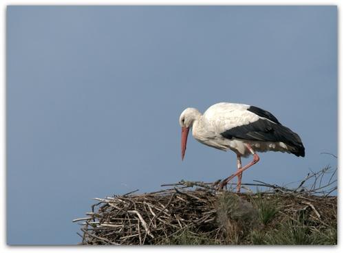 Les cigognes préparent les nids