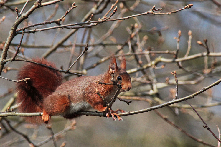 Ecureuil    Squirrel (photo claude creze)