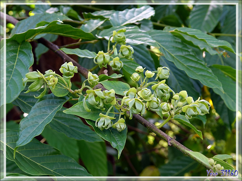 Ylang-ylang (Cananga odorata) - Nosy Be - Madagascar