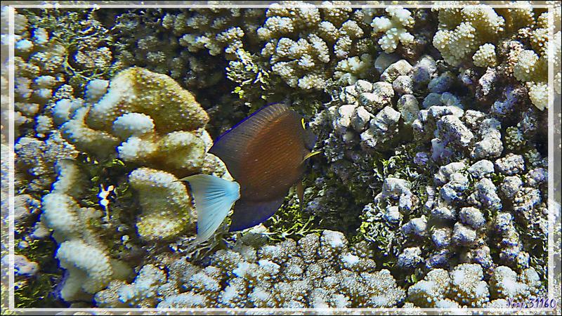 Chirurgien à queue blanche, White tail bristletooth tang (Ctenochaetus flavicauda) - Passe Tumakohua (passe sud) - Atoll de Fakarava - Tuamotu - Polynésie française