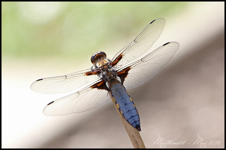 La libellule déprimée : Libellula depressa