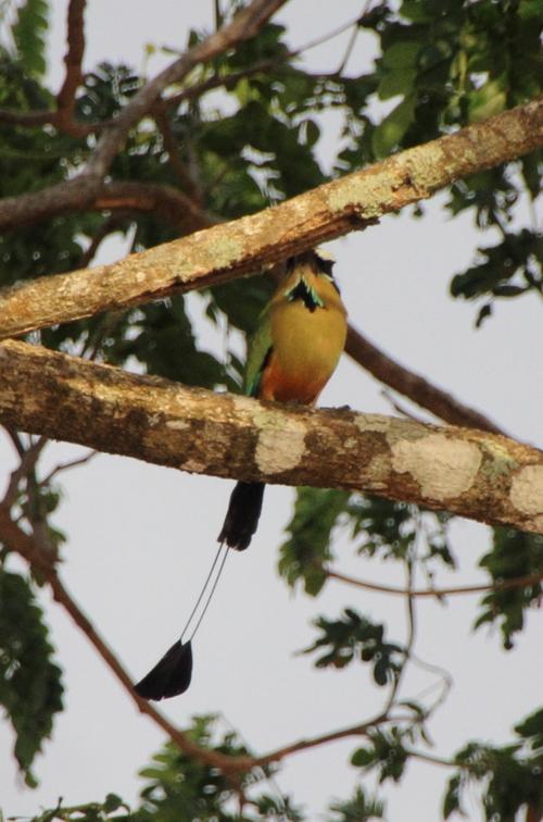 OIseaux du Costa Rica : le motmot et le tangara évêque