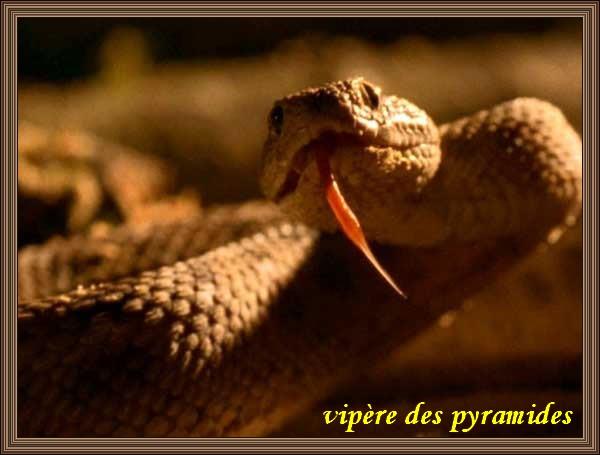 VIPÈRE DES PYRAMIDES