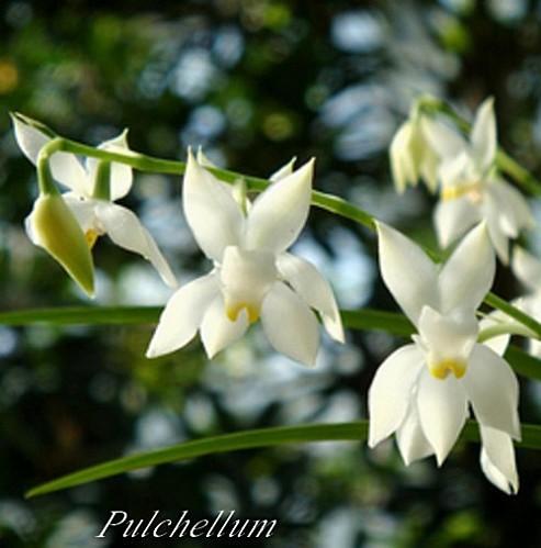 pflanzen-im-web-de-Cuitlauzina-pulchella-Syn-Odontoglossum-