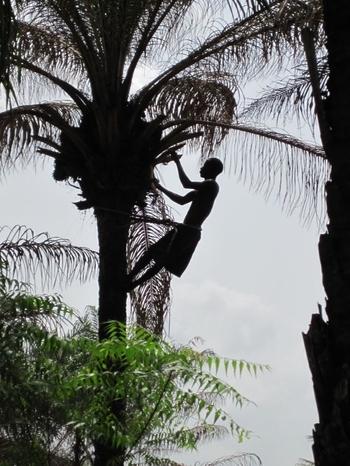 Bénin Comment monter aux cocotiers 2
