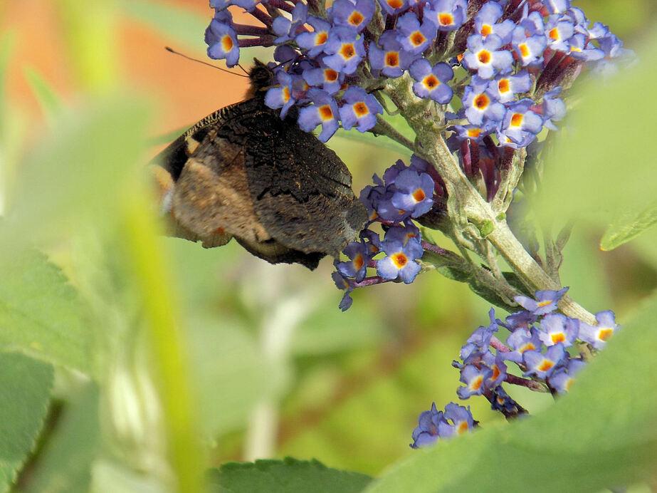 Fleur de papillon...
