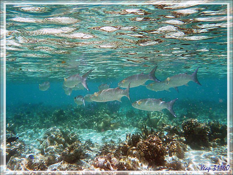 Mulet à queue bleue, Fringelips mullet (Crenimugil crenilabis) - Moofushi - Atoll d'Ari - Maldives