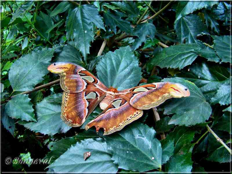 Papillons tropicaux Attacus atlas