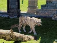 Tigre Blanc : Pairi Daiza le 10 juillet 2015
