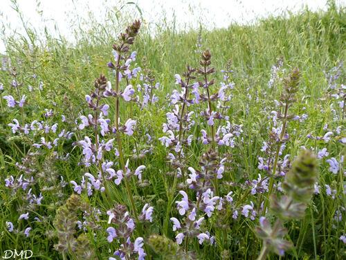 Salvia verbenaca  -  sauge à feuille de verveine