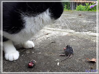 Câlinou le chat et le malheureux campagnol des champs