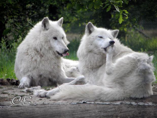 Parc de Ste-Croix deux loups blancs