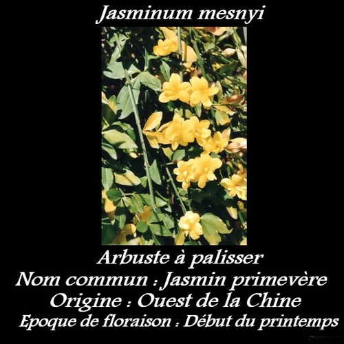 Jasminum mesnyi