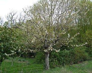 vieux-cerisier-fleurs.jpg
