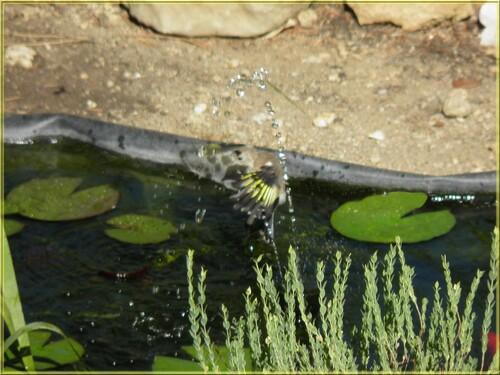 Chardonnerets élégant en famille au bassin