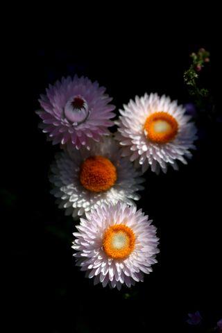Des compagnes pour mes roses : Helichrysum bracteatum