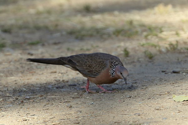 Catalina Island - Spotted Dove