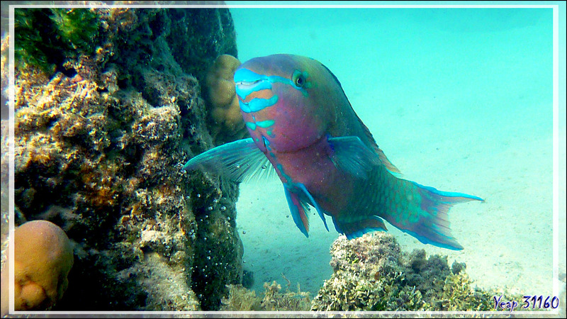 Perroquet prairie ou Perroquet violet (Mâle), Redlip parrotfish or Ember parrotfish (Scarus rubroviolaceus - Moorea - Polynésie française