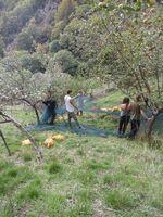 Récoltes de pommes pour la clémenterie