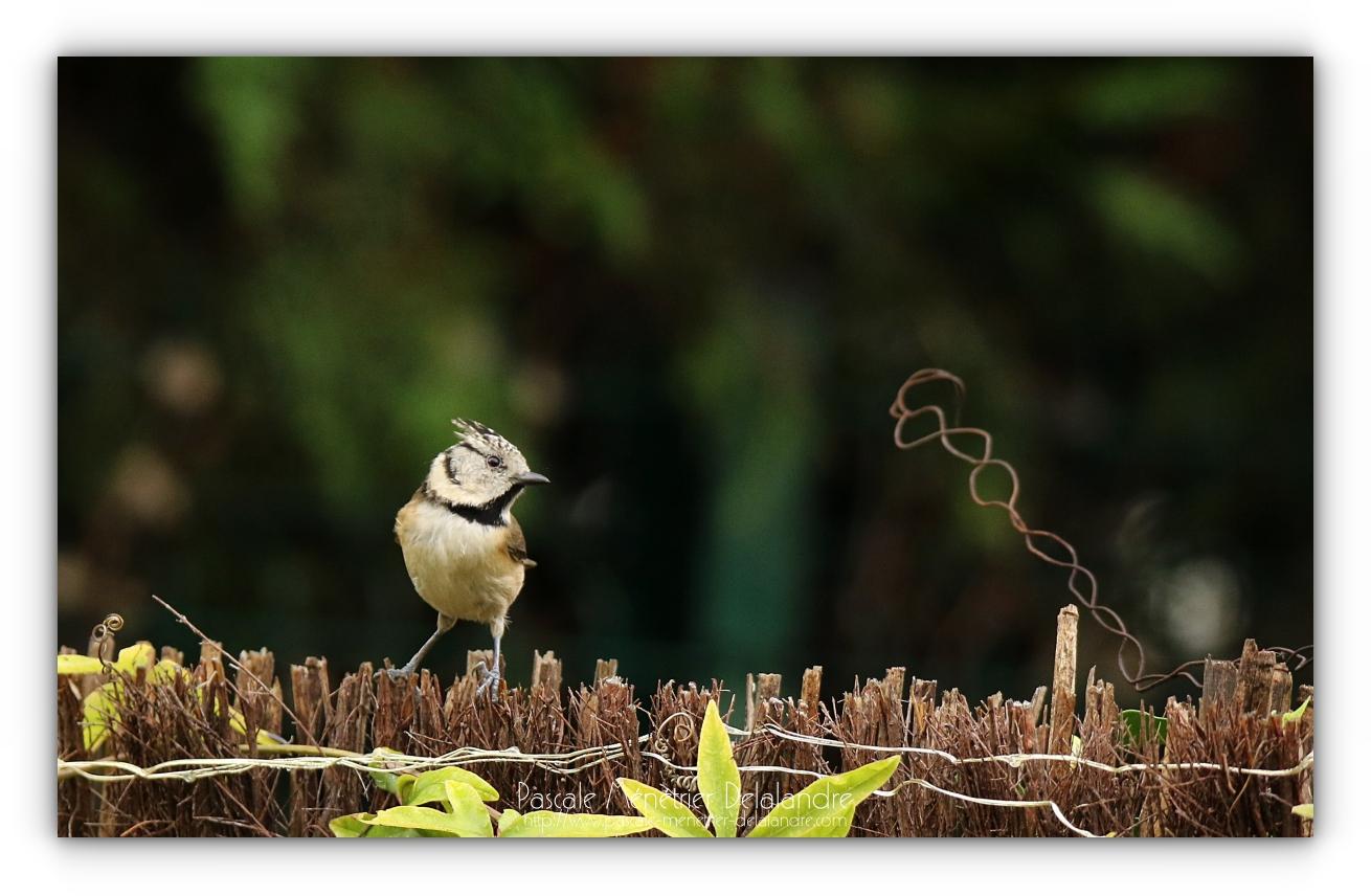 Mésange huppée au jardin