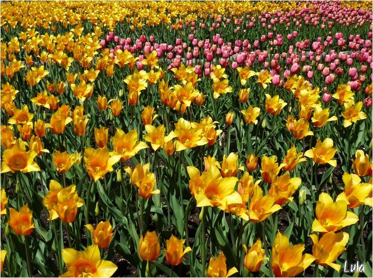 Floraison spectaculaire de tulipes au Jardin Botanique de Montréal