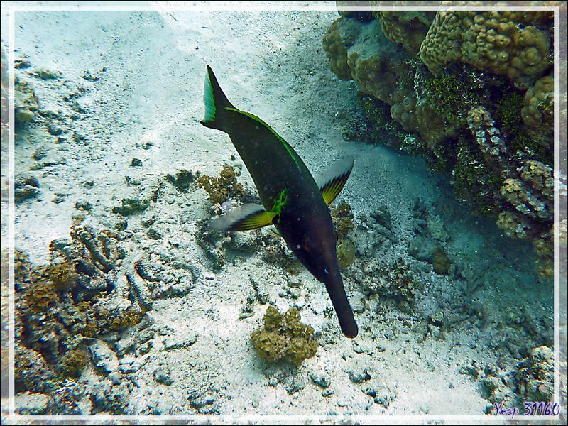 Gomphose vert ou Labre oiseau, Bird wrasse (Gomphosus varius) mâle - Jardin de corail - Motu Tautau - Taha'a - Polynésie française