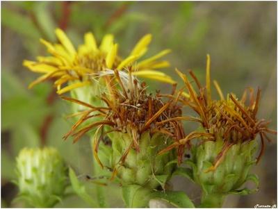 Inule à feuilles de spirée