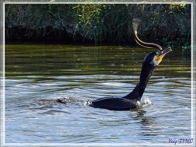 Combat entre un cormoran et une anguille : et le vainqueur est ... - La Couarde-sur-Mer - Ile de Ré - 17