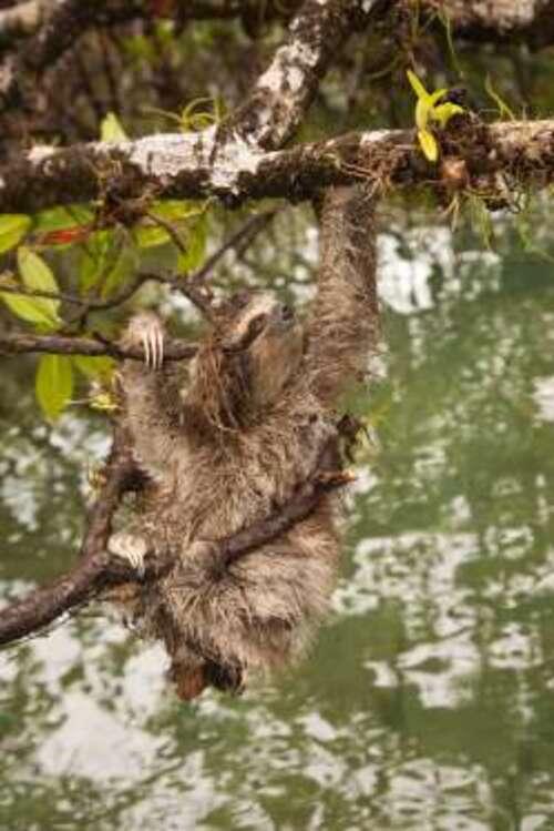 Paresseux nain (Bradypus pygmaeus)