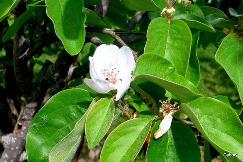 Cerises vertes et fleurs du néflier