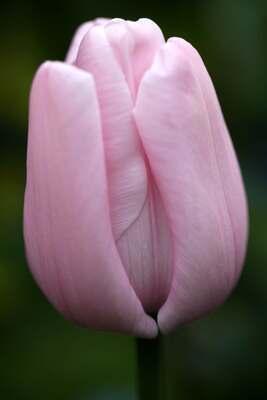 Tulipes 2014 : Pink Diamond
