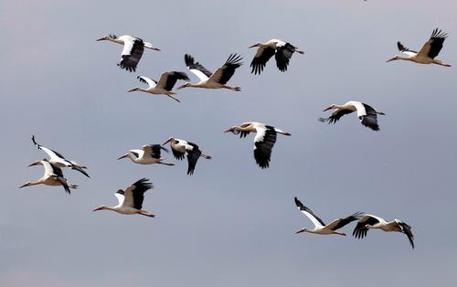 """""""  Envols de CANARDS & d'OIES SAUVAGES  & Autres """" (2)   FIN                       (les migrateurs)"""