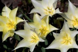 Tulipes Sapporo5