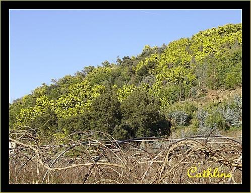auribeau--mimosas.jpg