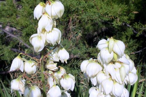 Les fleurs blanches du yucca