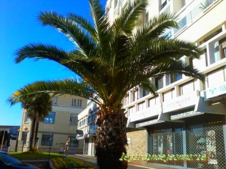 le palmier dattier phoenix canariensis photo prise a langon gironde le jardin de jean marie. Black Bedroom Furniture Sets. Home Design Ideas