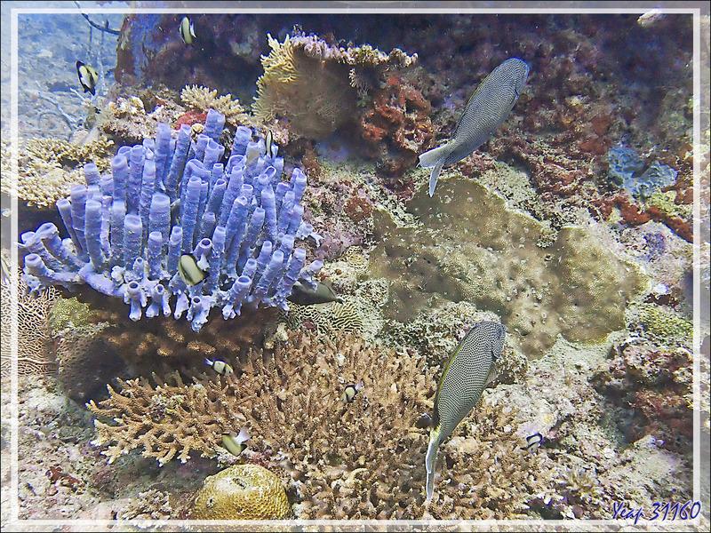 Poisson-lapin étoilé ou marguerite, Cordonnier marguerite, Starry rabbitfish, Brown-spotted spinefoot, Stellate rabbitfish (Siganus stellatus) - Les Tétons - Tsarabanjina - Mitsio - Madagascar