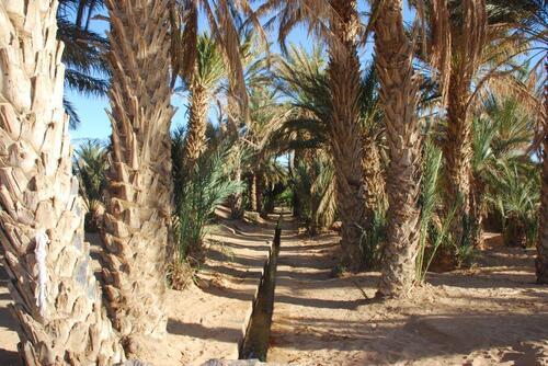 Dans la palmeraie