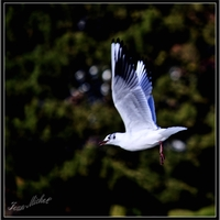 Mouette rieuse .