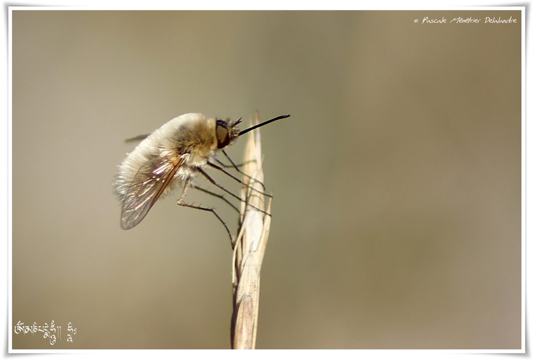 Bombylius minor