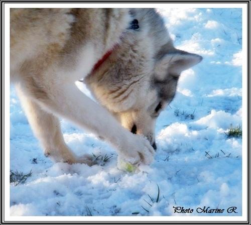 Huskys des neiges (1er février 2017)