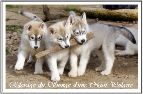 Groupe chiots Huskys (57j)