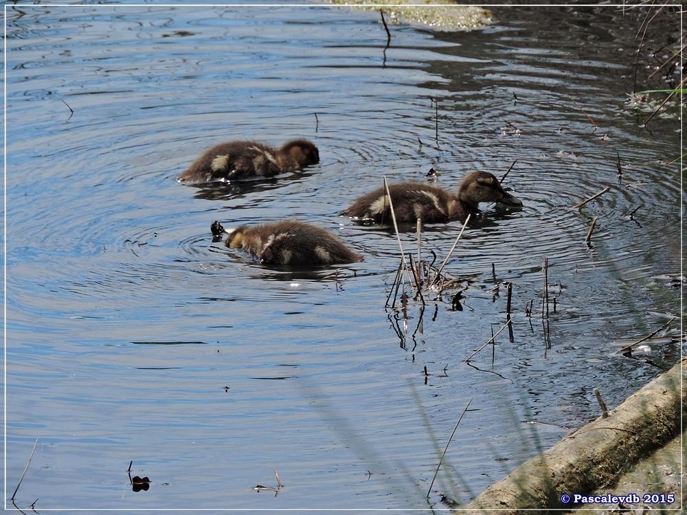 Retour à la Réserve ornitho du Teich - Mai 2015 - 3/9