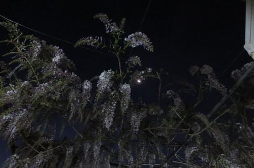 la lune entre les glicines