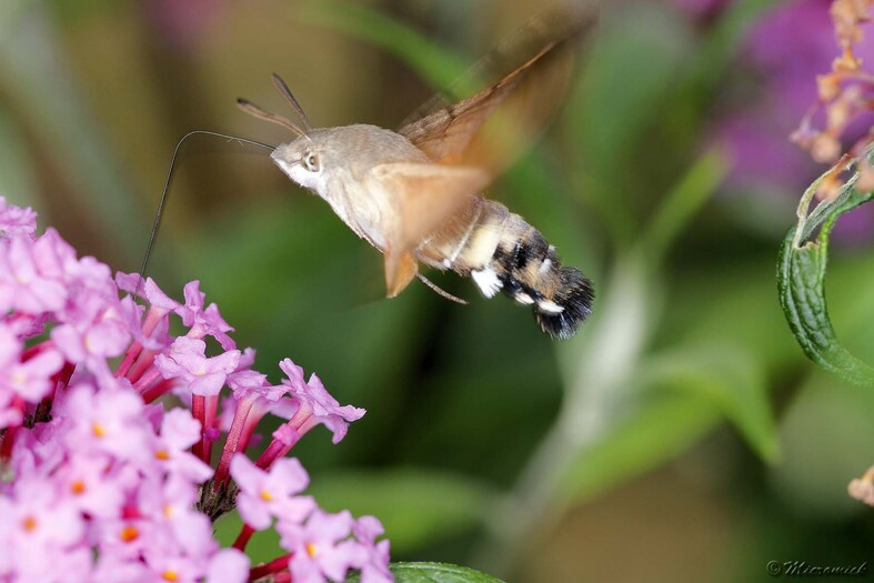 Sphinx colibri (Macroglossum stellatarum)